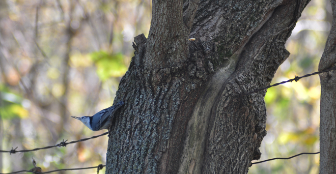 Nuthatch Caught In The Act Brantford, Ontario Canada