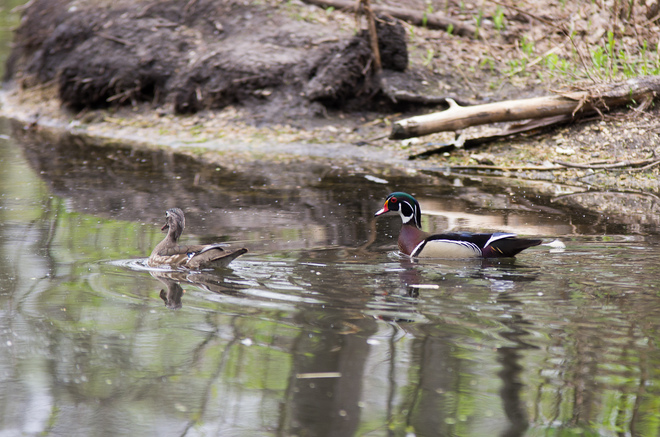 Wood Duck Winnipeg, Manitoba Canada