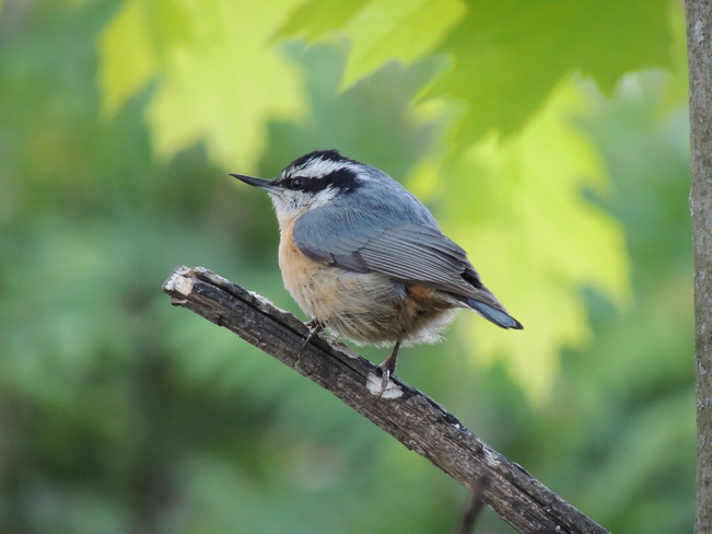Red Breasted Nuthatch Newmarket, Ontario Canada