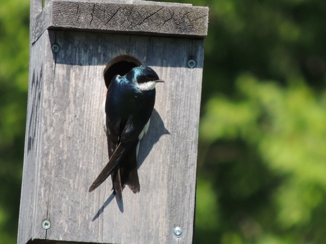 Tree Swallow hanging out Aurora, Ontario Canada