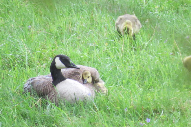 Mommy goose keeping her baby warm and dry Carrolls Crossing, New Brunswick Canada