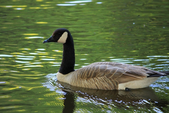 Yet Another Goose Laval, Quebec Canada