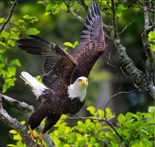 Majestic Eagle Vancouver, British Columbia Canada