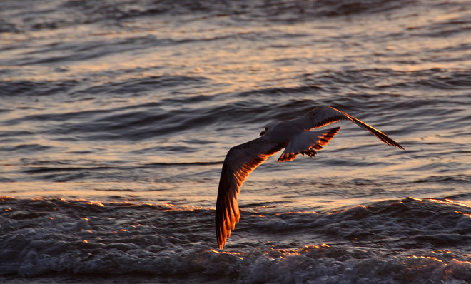 Seagull flying at sunset Port Elgin, Ontario Canada