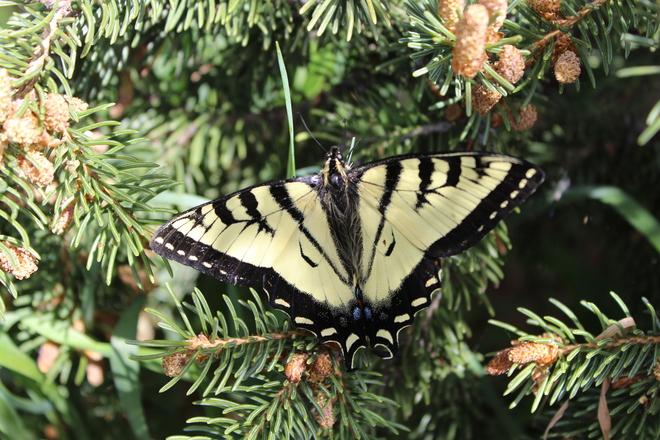 Swallowtail Butterfly Goodsoil, Saskatchewan Canada