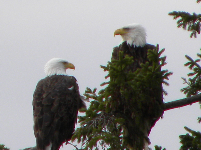 bald eagles Bouctouche, New Brunswick Canada
