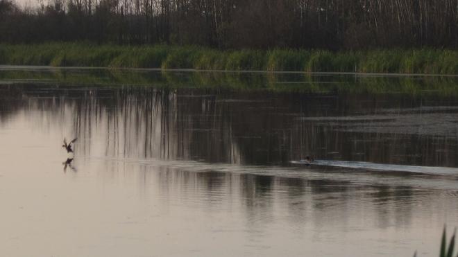 ducks Nipawin, Saskatchewan Canada