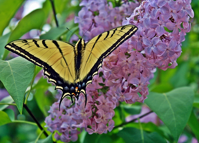 Western Swallowtail Enderby, British Columbia Canada