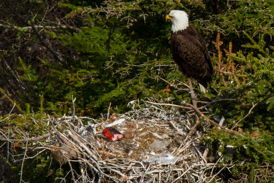 Nesting Bald Eagle and Chick