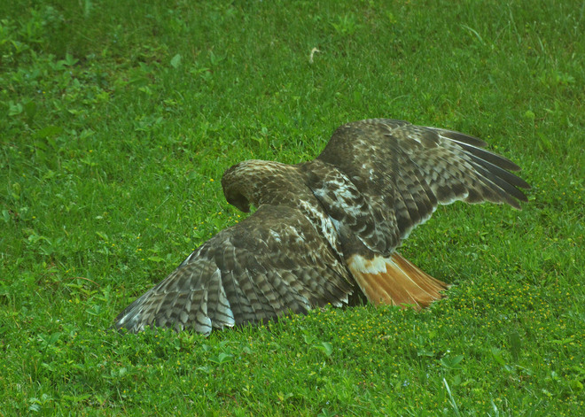 Red Tail Hawk With Prey Kitchener, Ontario Canada