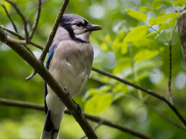 Blue Jay at Lemoines Point Kingston, Ontario Canada
