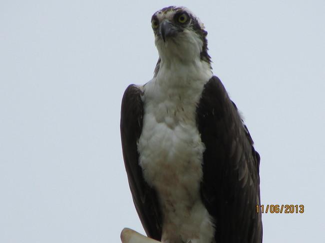 osprey Joggins, Nova Scotia Canada
