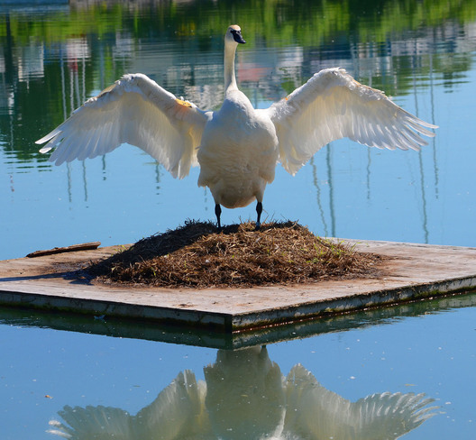 Swan stretch after sitting on eggs for a long time Scarborough, Ontario Canada