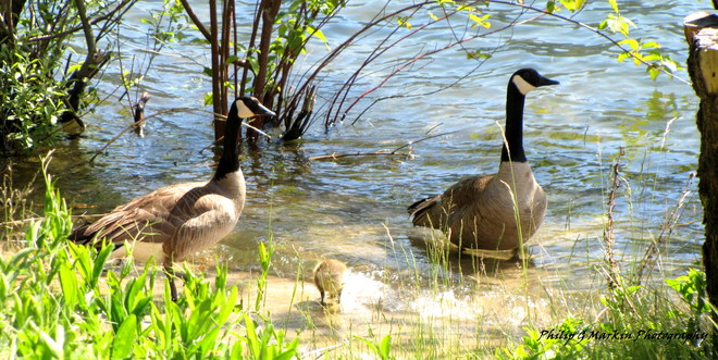 Geese and Gosling Nelson, British Columbia Canada