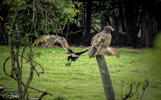 A Pair of Turkey Vultures Smiths Falls, Ontario Canada