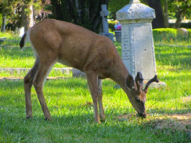 Deer grazing in cemetary Victoria, British Columbia Canada