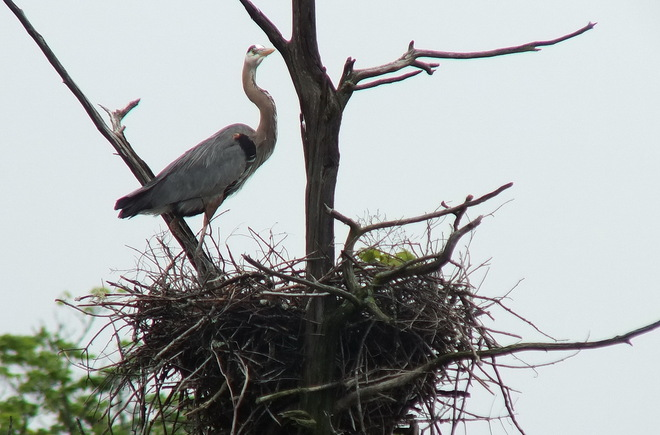 Great Blue Herons on their nests Dwight, Ontario Canada