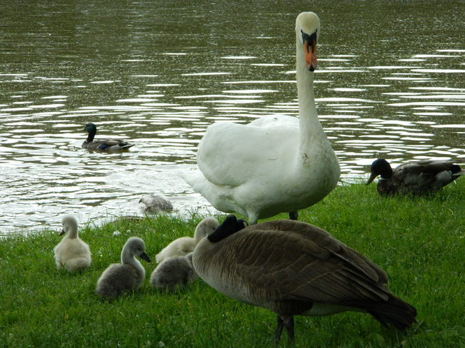 Swan protecting her young. Stratford, Ontario Canada