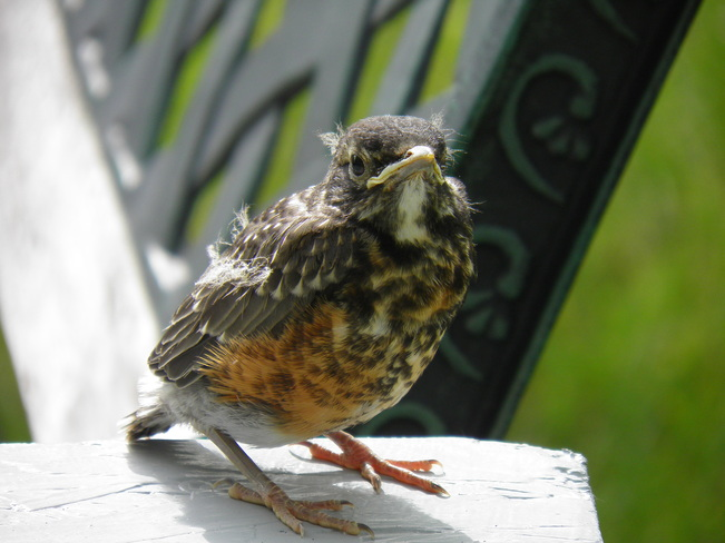 Baby robin waits for his morning worm Bonnyville, Alberta Canada