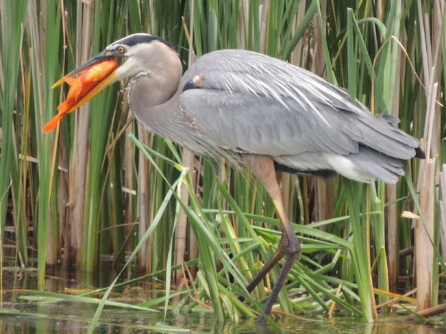 Heron with huge goldfish Richmond Hill, Ontario Canada