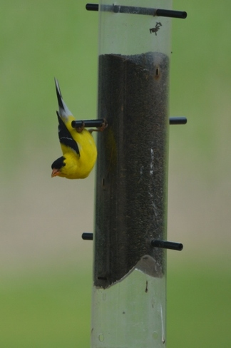 Yellow finch Wheatley, Ontario Canada