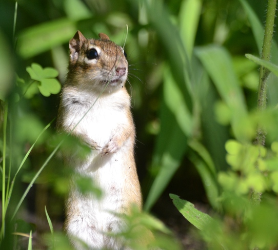 Chipmunk cheking out for the Cat.... Cantley, Quebec Canada