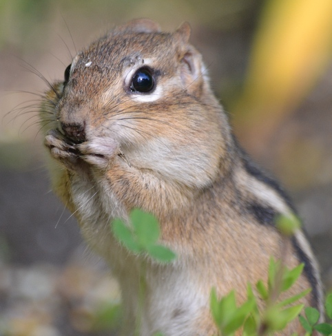 Chipmunk eating some seads!!! Cantley, Quebec Canada