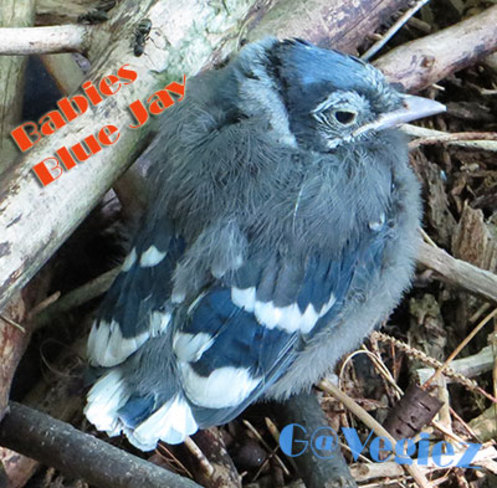 Baby Blue Jay Pierrefonds, Quebec Canada