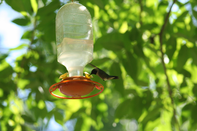 Humming Bird Visitor Little Current, Ontario Canada