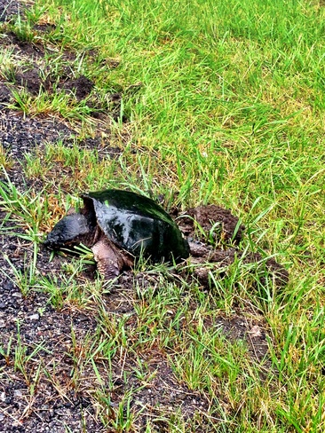 Snapping Turtle laying eggs Brockville, Ontario Canada