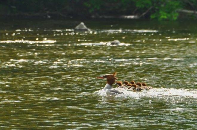 Merganser Mom and Babies Erin, Ontario Canada