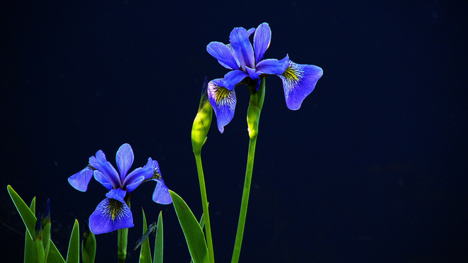 Sherriff Creek irises with insect. Elliot Lake, Ontario Canada