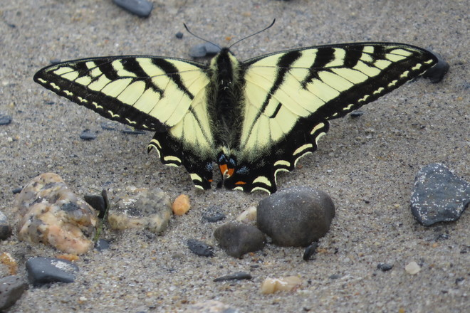 Eastern Tiger Swallowtail Butterfly (Papilio glaucus) male Chester, Nova Scotia Canada