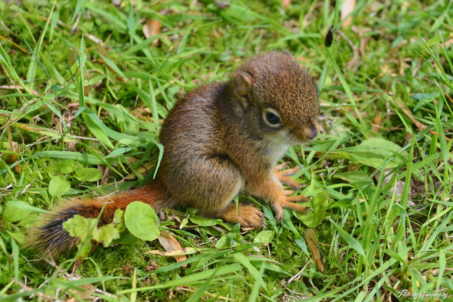 Baby red squirrel Barachois, New Brunswick Canada