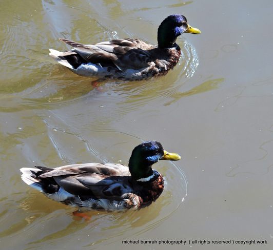 swimming in pairs Whitby, Ontario Canada