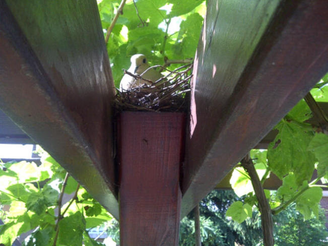 Mourning Dove nesting in grapevines Maple, Ontario Canada