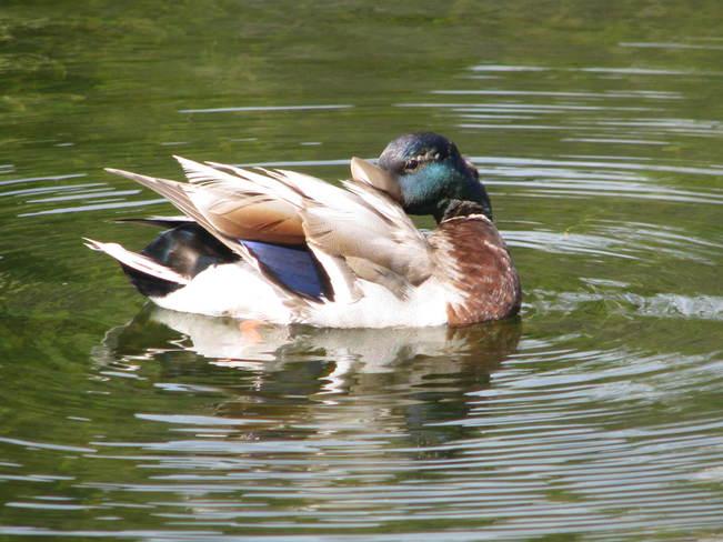 The Mallard Duck Saint John, New Brunswick Canada