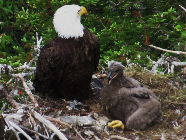 Bald Eagle and Baby St. John's, Newfoundland and Labrador Canada