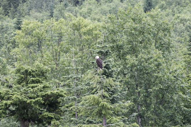 eagle at the thornhill dump Terrace, British Columbia Canada