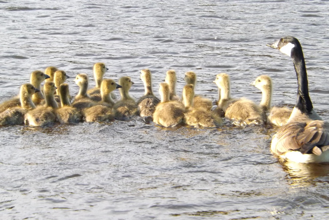 MOTHER AND HER 17 BABIES Thunder Bay, Ontario Canada