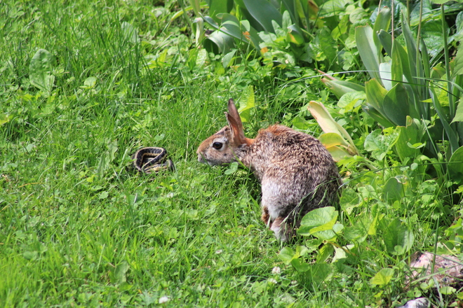 The Rabbit became friends with the snake Richmond Hill, Ontario Canada