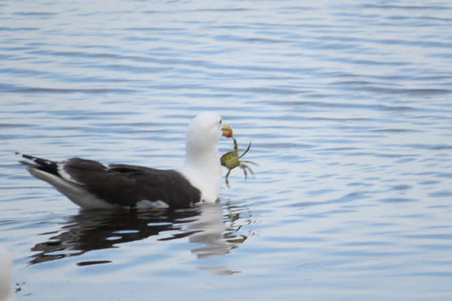 Great Black-backed Gull (Larus marinus) Chester, Nova Scotia Canada