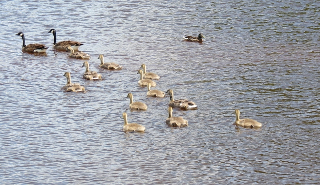 Family of Canada Geese Moncton, New Brunswick Canada