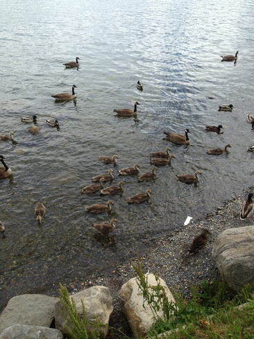Geese and their babies Cornwall, Ontario Canada