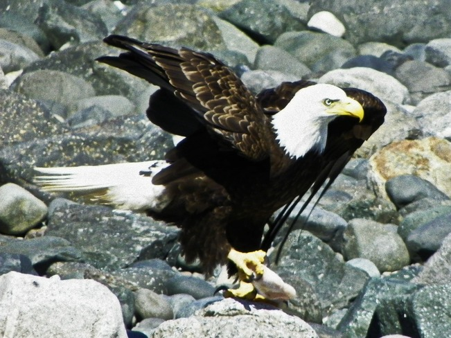 Food for Eagle Campbell River, British Columbia Canada