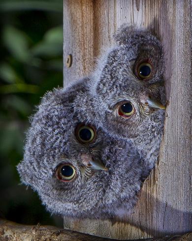 screech owls Dundas, Ontario Canada