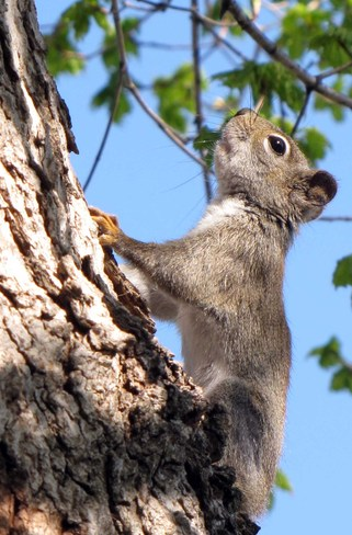 Red Squirrel Lansdowne, Ontario Canada