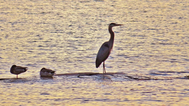 Blue Heron takes in sunset on 'duck rock' North Bay, Ontario Canada