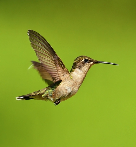 Hummingbird. Saint-Bernard, Quebec Canada