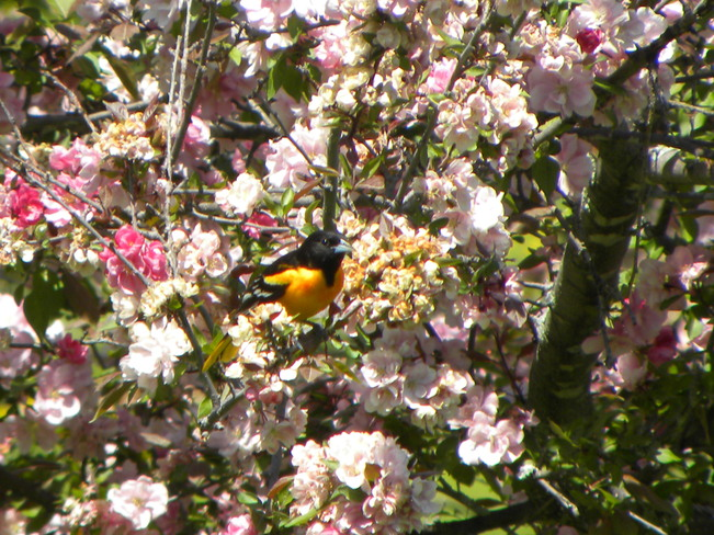 oriole and flowers Ottawa, Ontario Canada